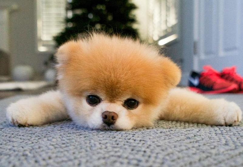 ¡NOOOOO! Murió el perrito más bonito del mundo #FOTO