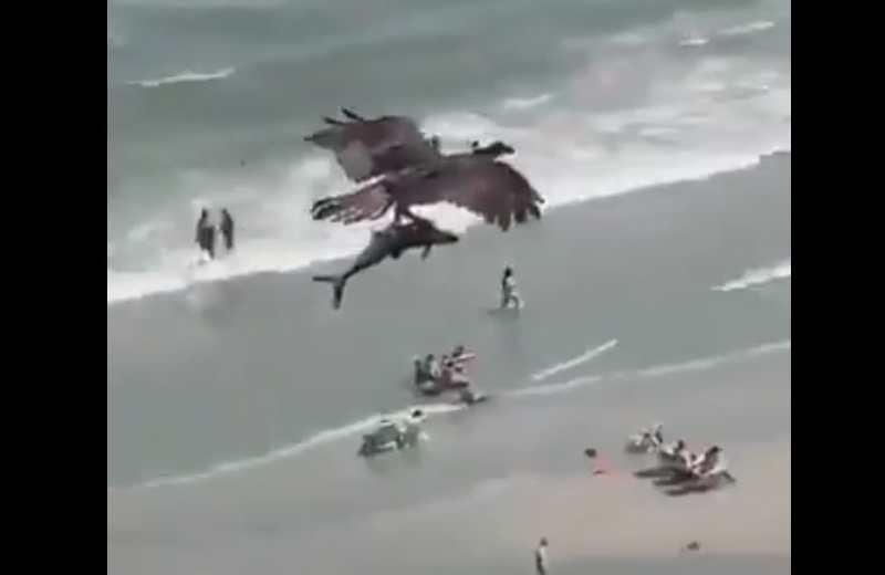 Águila caza pequeño tiburón y se lo lleva volando (+video)