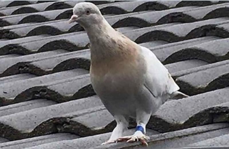 Llega a Austria una paloma desde EU y la quieren matar por riesgo de COVID