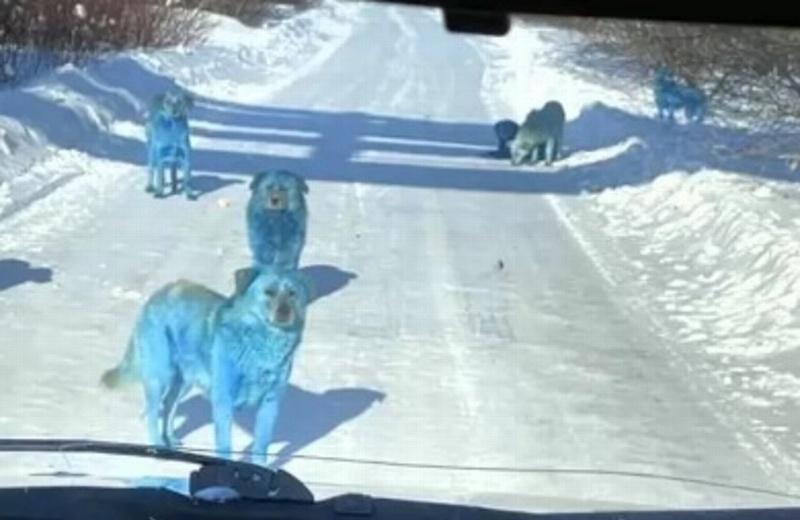 Hallan a manada de perros con pelaje azul brillante